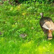 Wild Turkey Poults