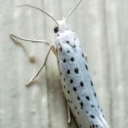 American Ermine Moth