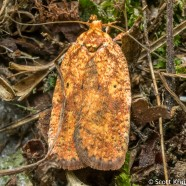 Four-spotted Agonopterix