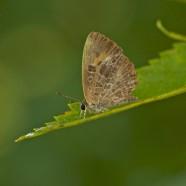 Harvester Butterfly