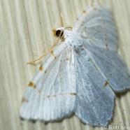 Lesser Maple Spanworm Face