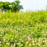 Pollinator Meadows