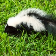 Skunk Showdown