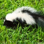 Skunk Showdown