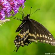 Worn Black Swallowtail
