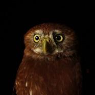 Ferruginous Pygmy-Owl (Glaucidium ridgwayi)