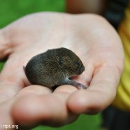 Meadow Vole (Microtus pennsylvanicus)