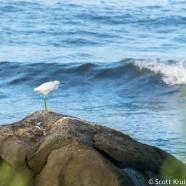 Snowy Egret Rock