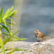 Songless Song Sparrow