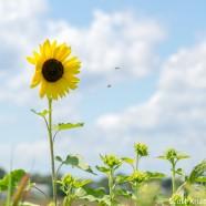 Sunflowers Emerging