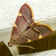 Clover Hayworm Moth