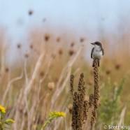 Late Eastern Kingbirds