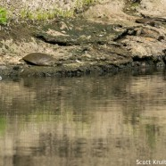 Spiny Softshell Turtle Male