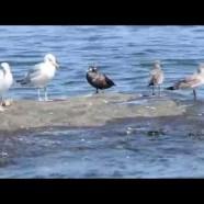 Harlequin Duck Video