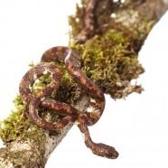 Ringed Snail Sucker (Sibon annulatus)