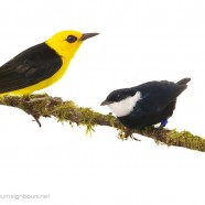 Costa Rica Forest Birds