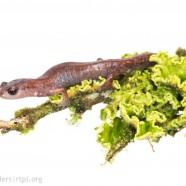Costa Rican Webfoot Salamander (Bolitoglossa tica)