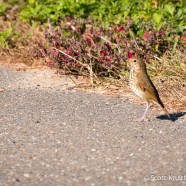 Hermit Thrush Crossing