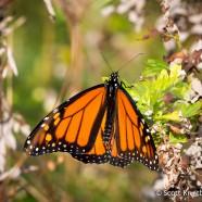 Monarchs Building