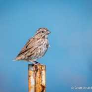 Tailless Song Sparrow