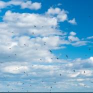 Swallow Swarm