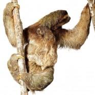 Brown-throated Three-toed-sloth (Bradypus variegatus)