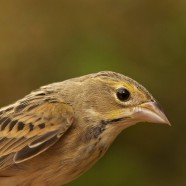 Dickcissel Banded