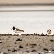 Wintering American Oystercatchers