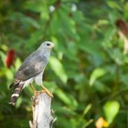 Gray Hawk (Buteo plagiatus)