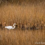 December Great Egrets