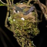 Hummingbird Nestlings
