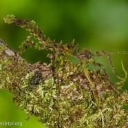 Trycopeptus laciniatus