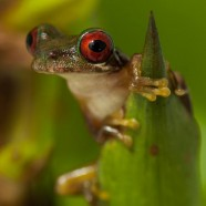 Rufous-eyed Streamside Tree Frog (Duellmanohyla rufioculis)