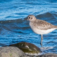 January Black-bellied Plover