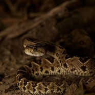 Central American Rattlesnake (Crotalus simus)
