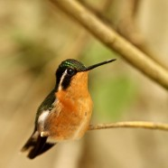 Purple-throated Mountaingem (Lampornis calolaemus)