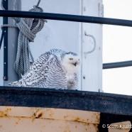 Snowy Owl on Lighthouse