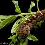 Snake Caterpillar?