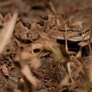 Central American Rattlesnake