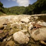 Panama Cross-banded Tree Frog (Smilisca sila)
