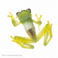 Dwarf Glass Frog (Teratohyla spinosa)