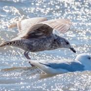 Gull Problems