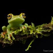 Red-webbed Tree Frog (Hypsiboas rufitelus)