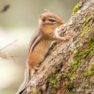 Young Chipmunk