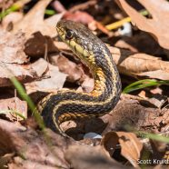 Eastern Garter Snake (Thamnophis sirtalis)