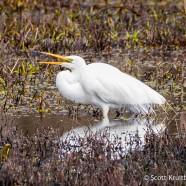 Great Egrets Return