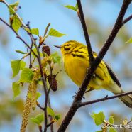 Prairie Warbler (Setophaga discolor)