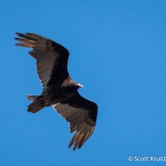 Turkey Vulture Soaring