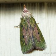 The Bee Moth
