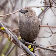 Brown-headed Cowbirds